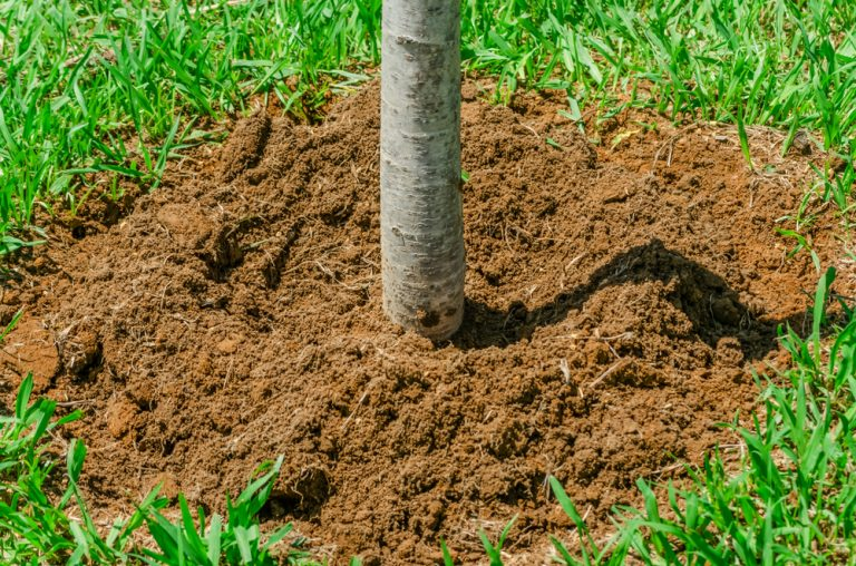 Newly Planted Tree