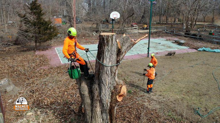 Walnut Tree crew taking down a tree